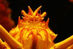 Spider-Crab.jpg