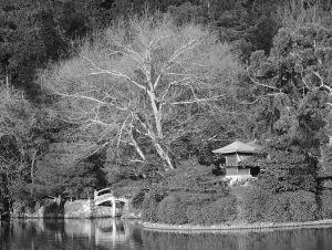 Ryoanji-White-Tree---3.2003.jpg